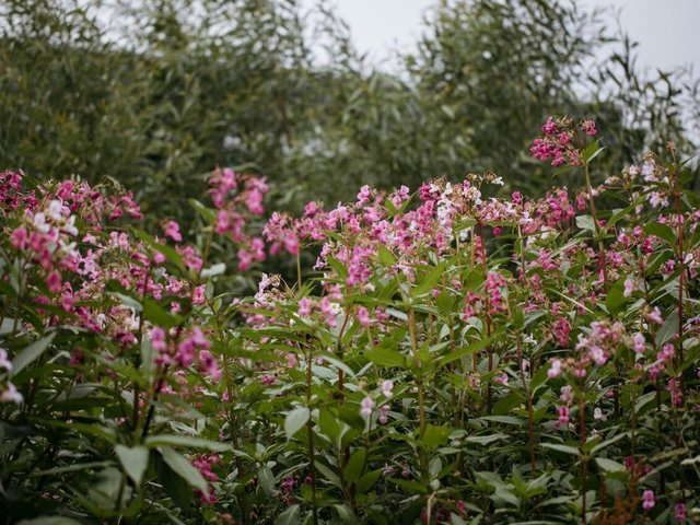 Can you help clear any Himalayan Balsam in your back yard?