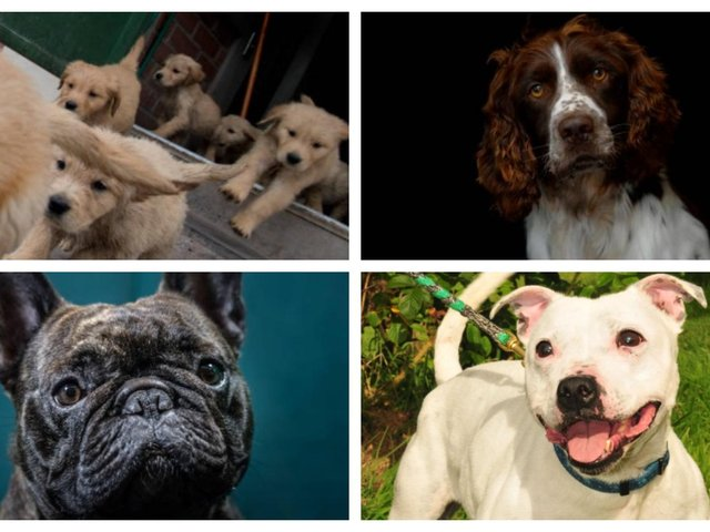 Here are the top 10 most popular puppies purchased since the start of the pandemic.
