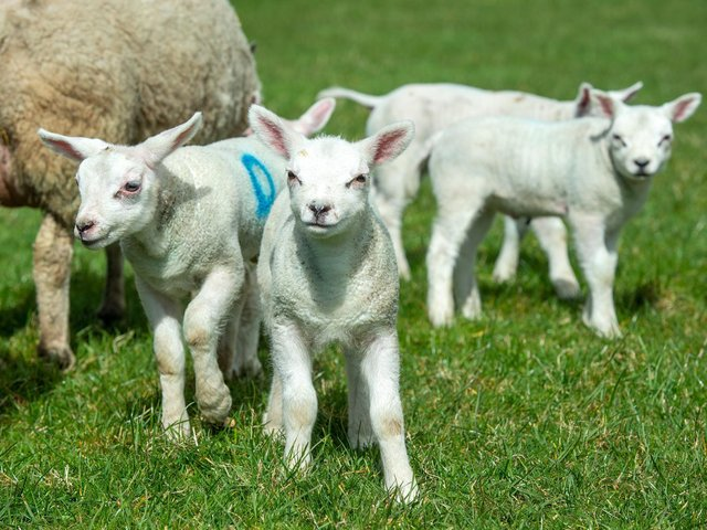 Lambs have been killed by a dog in Hebden Bridge