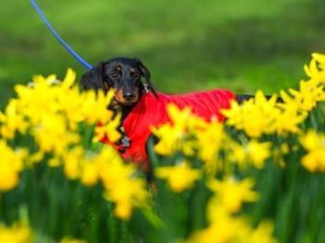From tulips to rhubarb - these 10 toxic flowers and plants could be fatal to your dog